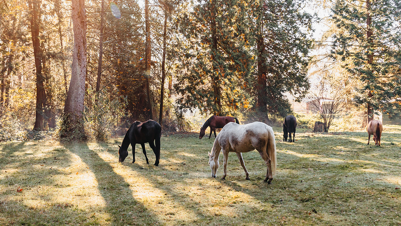 Image of a field at dawn with four horses grazing.